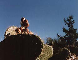 Photo of prickly cactus plant against blue sky